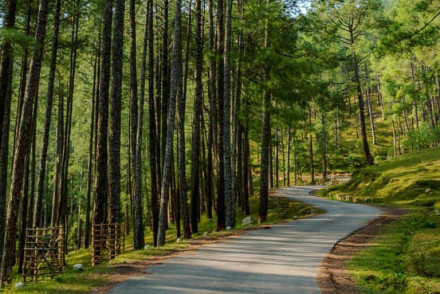 The Dazzling Pine Forest Ooty